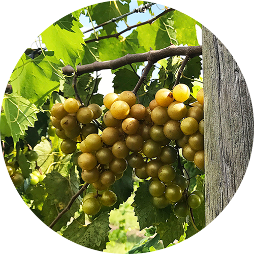 Ripe white Muscadine grapes on the vine.